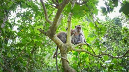 macaca fascicularis : Wild macaque family in jungle forest foliage sit on tree branch. Ubud, Bali, Indonesia