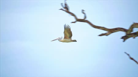 spot billed pelican : Large Spot-billed Pelican flies in wild nature of Yala National park, Sri Lanka slow motion video Stock Footage