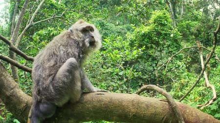 macaca fascicularis : Asian primate Long-Tailed Macaque monkey in natural habitat of tropical rain forest in Bali, Indonesia Stock Footage