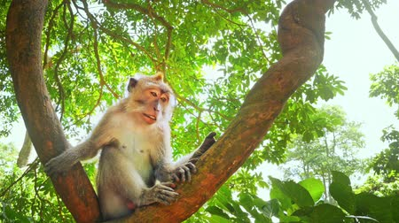 macaca fascicularis : Funny wild monkey turning head around and looking while sitting on tree branch in green jungle forest