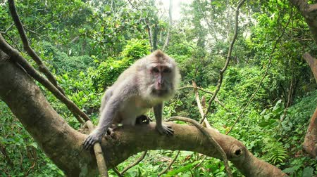 macaca fascicularis : Wild monkey macaque on tree branch in rainforest jungle nature