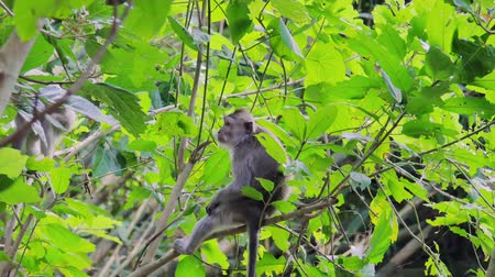 macaca fascicularis : Group of wild monkeys on tree branches in green foliage of leaves in jungle forest Stock Footage