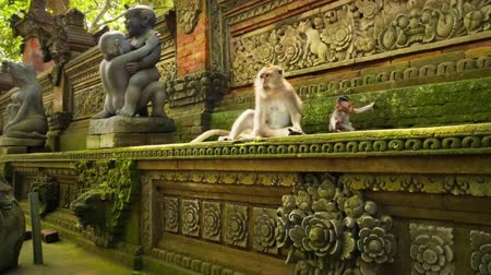 macaca fascicularis : Visiting traditional ancient hindu temple Monkey Forest in Ubud, Bali, Indonesia Stock Footage