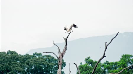 spot billed pelican : Spot-billed pelican flies and lands on tree top branch in Yala National Park, Sri Lanka, Asia Stock Footage