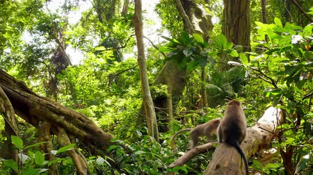 long tailed macaque : Long-tailed Macaca monkey in jungle forest. Green rainforest natural habitat environment. Fauna and flora of Indonesia wildlife nature Stock Footage