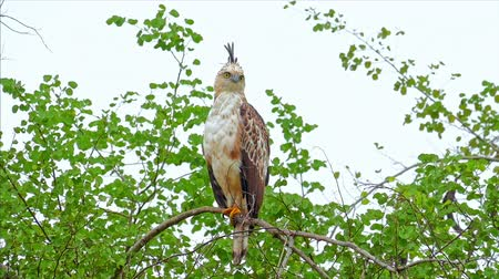 crested hawk eagle : Portrait of Crested Hawk Eagle in wild nature of Sri Lanka wildlife reserve