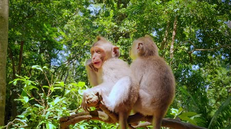 macaca fascicularis : Monkeys in sunny tropical forest. Two little macaques on tree branch