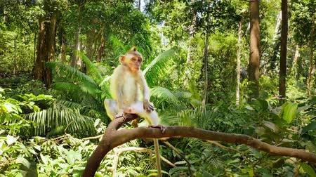 macaca fascicularis : Cute funny monkey on tree branch in forest