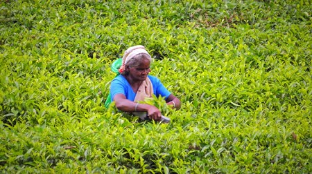 tea plantation : Ethnic woman worker picking tea leaves and collecting the produce to bag. Harvesting agriculture crops in Sri Lanka video background Stock Footage
