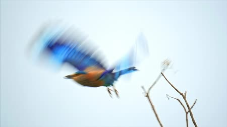 indian roller : Slow motion video of Indian Roller bird flying from branch and flapping with colorful wings in Yala national park in Sri Lanka Stock Footage
