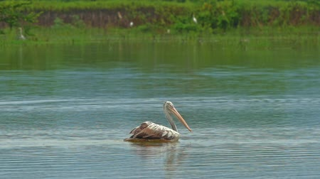 spot billed pelican : Wild spot-billed Pelican bird on lake water in Yala national park, Sri Lanka. Traveling and sightseeing of wildlife nature