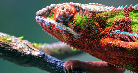 terrarium : Chameleon moving big eye while looking around and moving slowly on tree branch. Detailed close up view of colorful and vivid textured skin Stock Footage
