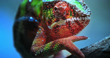 terrarium : Close-up macro view of Chameleon tropical lizard with colorful textured skin walking on tree branch in tropical nature
