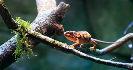 terrarium : 4K natural video of wild Chameleon lizard on branch in forest. Exotic reptile in natural habitat environment