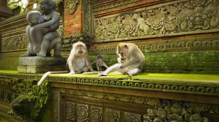 macaca fascicularis : Ubun, Bali, Indonesia. Family of macaques in Monkey Forest temple. Tourist landmark and famous travel destanation in Asia Stock Footage