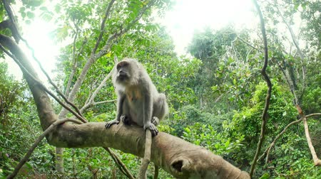 macaca fascicularis : Balinese monkey outdoors in greenery of rainforest close up camera view