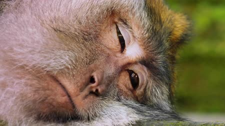 macaca fascicularis : Funny monkey taking a nap and tries to sleep. Close-up view of closing eyes and dozed face of Asian Macaque Stock Footage