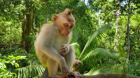macaca fascicularis : Funny little monkey macaque in green lush forest of tropical jungle in Asia Stock Footage