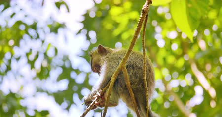 macaca fascicularis : Small funny monkey sitting on branch on top of tree in tropical forest of Bali