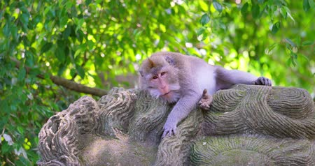 macaca fascicularis : Adult male Long-tailed asian macaque monkey relaxes and sleeps on sacred ancient statue in holy Ubud forest in Bali Indonesia
