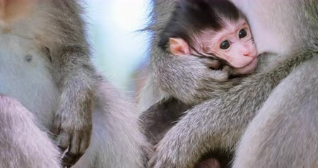macaca fascicularis : Close up of monkey hands clean fur from fleas and small infant baby macaque protected by mother in tropical forest in Bali, Indonesia. Wild asian animals nature scene Stock Footage