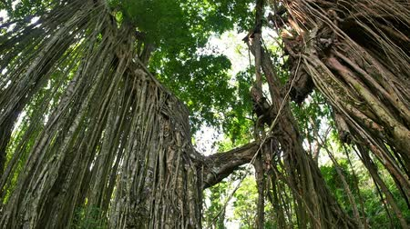 banyan : Beautiful ancient tree overgrown with roots and branches. Tropical jungle forest