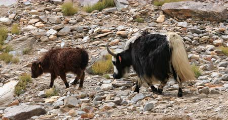 mother cow : Mother yak and baby calf of domestic himalayan livestock walk on rocky slopes of Ladakh mountains in Northern India