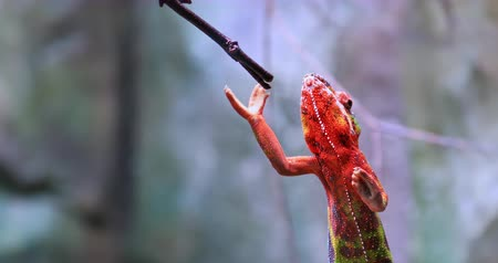 terrarium : Chameleon climbs on tree branch. Wildlife nature video of exotic reptile animal