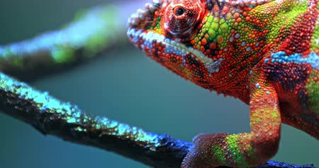 terrarium : Vivid colorful skin of Chameleon close up view. Exotic tropical lizard walks slowly on branch and looking around Stock Footage