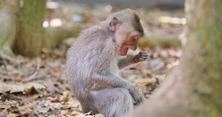 macaca fascicularis : Funny monkey cleans and eats nuts in wild tropical forest