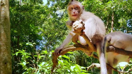 macaca fascicularis : Monkeys play on tree top in tropical forest. Indonesian jungle wildlife nature