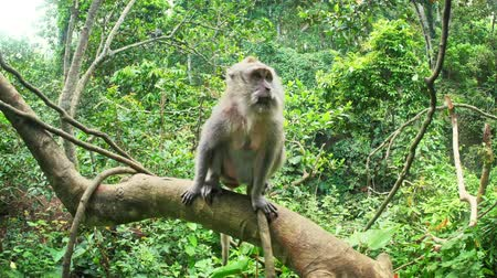 macaca fascicularis : Macaca Fascicularis or Balinese Long-tailed Macaque monkey in lush of evergreen tropical rain forest in Indonesian jungle