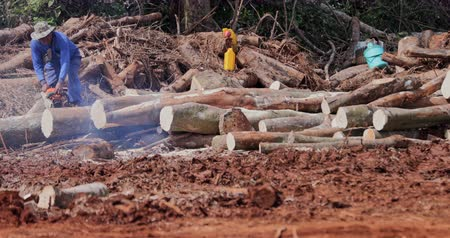 borneo : Lumberjack cuts tree with chainsaw on logging site in tropical rainforest. Ecological problem and ecosystem damage of rainforest deforestation leading to climat change and global warming
