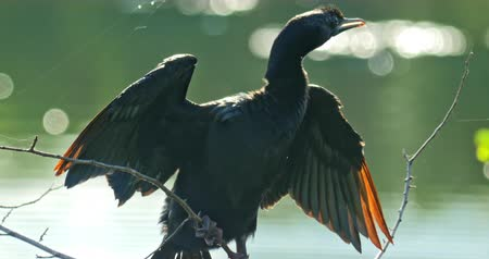 водно болотных птиц : Close up view of Cormorant bird drying wings in wilderness of Sri Lanka natural reserve for protected animals and wild nature. Visiting Yala National park during wildlife safari