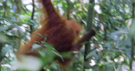 extinct species : Wild orangutan moves through tropical jungle forest in Sumatra national park, Indonesia. Asia wildlife nature scene Stock Footage