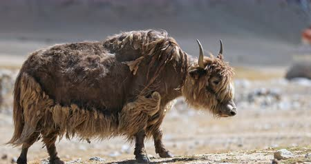 tibeti : Yak of Himalaya mountain region in northern India. Beautiful nature and scenic environment of highlands in Ladakh