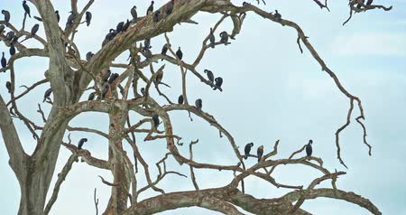 niger : Aquatic waterbirds Cormorant on ranches of dead wood tree in Sri Lanka wildlife nature of Yala National Park