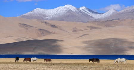 himalayan : Herd of horses in Ladakh near Tso Moriri lake, Himalaya, northern India. Mountain nature landscape of highlands