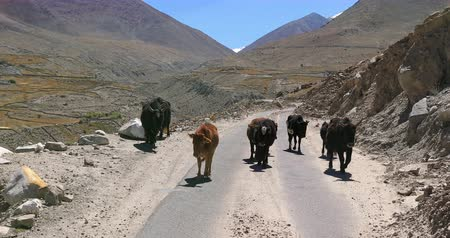 tibeti : Himalaya landscape with mountains and yaks domestic animals walking along rural road. Traveling to northern India video background