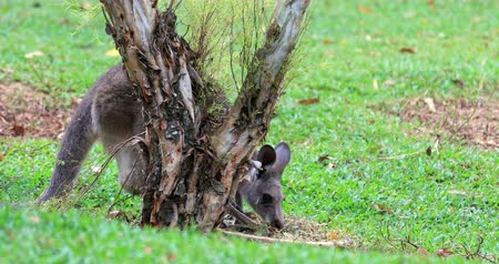 tasmania : Grey australian kangaroo feeds on green grass lawn while caring newborn baby in mothers pouch Stock Footage