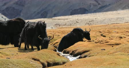 tibeti : Beautiful wild animals himalayan yaks grazing near mountain creek in Ladakh, India