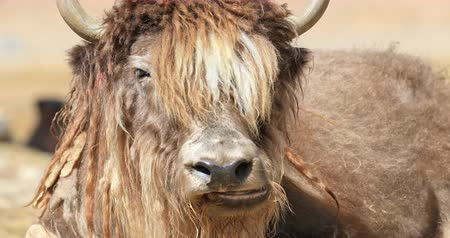 in the wild : Himalayan Yak looks at camera close up portrait