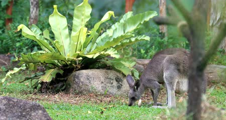 tasmania : Flora and fauna of Australian tropical forest. Grey Kangaroo with newborn baby in pouch eats grass in garden