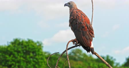 fish eye : Wild beautiful Eagle flies away from tree branch. Majestic bird in wildlife nature of Yala national park in Sri Lanka Stock Footage