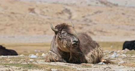 tibeti : Cute large bull Yak among its herd in Himalaya mountains