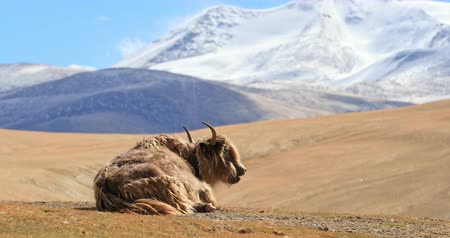tibeti : Himalayan yak resting on highland pasture in rural Ladakh. Beautiful nature landscape and scenic panoramic view of hills and mountains in northern India