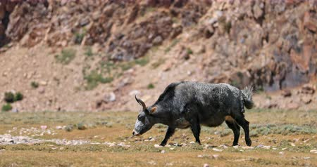 tibeti : Yak grazing near rocks of Himalaya mountain