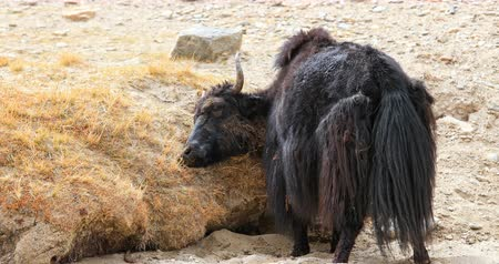 tybet : Yak scratches itself in dirt and dry mud on hills of Himalaya mountains in Ladakh, India Wideo