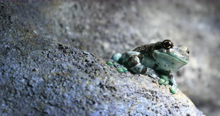 nativo : Mission golden-eyed tree frog or Amazon Milk frog on wet grey stone close up portrait view
