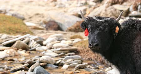 tibeti : Calfs of himalayan yaks cross mountain river in highland valley in Ladakh. Beautiful portrait of domestic animals in rural parts of northern India